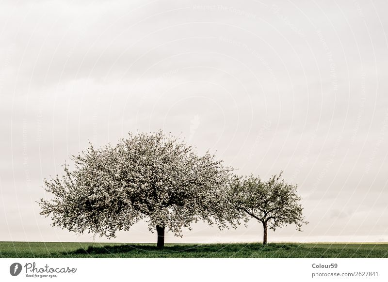 Apple tree with blossoms Nature Cloudless sky Spring Tree Blossom Jump White Germany Hesse apple trees Landscape Bud Growth Agriculture Grass Field Day wax