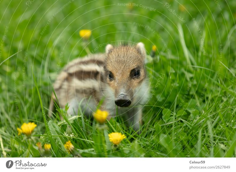 Freshman on a meadow Beautiful Baby Nature Animal Spring Grass Meadow Wild animal 1 Baby animal Observe Small Cute Brown Green White Boar youthful Young boar