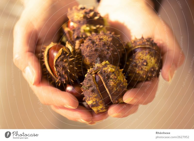 A handful of autumn Human being Feminine Woman Adults Hand Fingers 1 45 - 60 years Nature Autumn Chestnuts To hold on Exceptional Brown Macro (Extreme close-up)