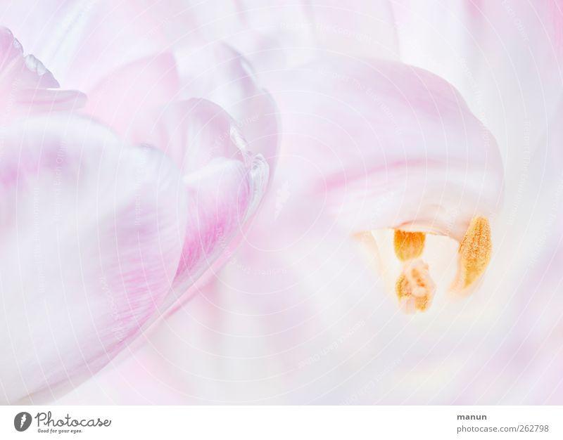 Nature Flower Spring Blossom Bright Pink Natural Tulip Spring fever