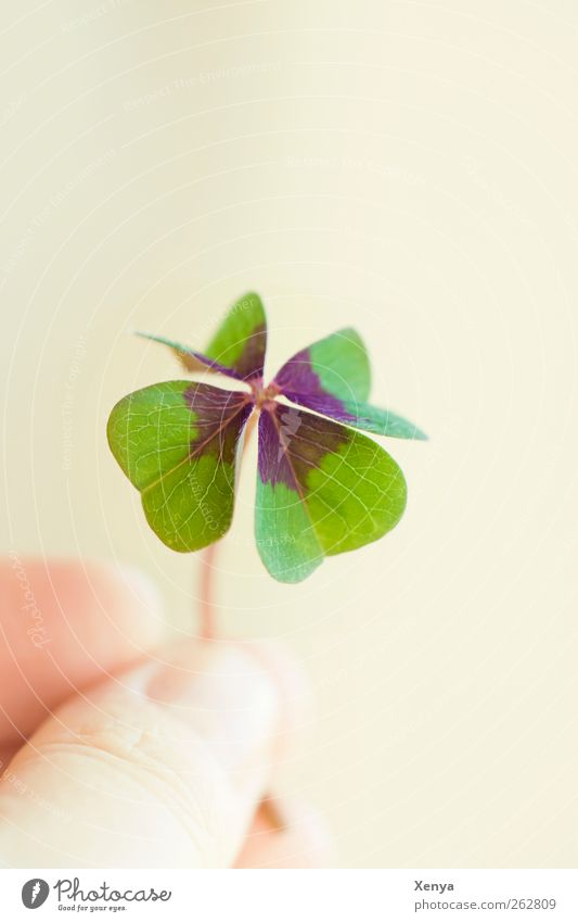 luck Plant Leaf Cloverleaf Happy Green Hope Four-leaved Desire Good luck charm Retentive Indicate 1 Copy Space top Detail Shallow depth of field
