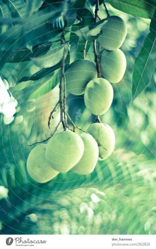 Nature Green Tree Plant Environment Food Fruit Multiple Hang Exotic Foliage plant Mango