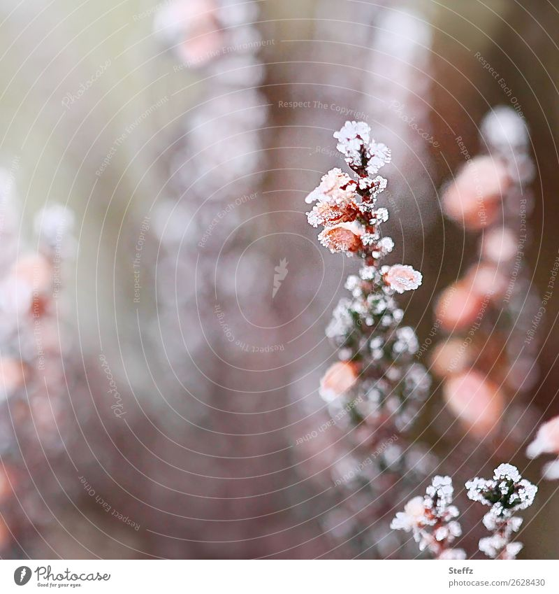 Nature Plant White Winter Autumn Cold Gray Pink Ice Weather Blossoming Climate Change Frost Frozen Freeze