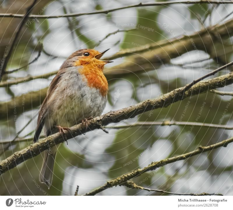 Singing robin Nature Animal Sunlight Tree Branch Wild animal Bird Animal face Wing Claw Robin redbreast Feather Beak 1 To talk Communicate Illuminate Looking