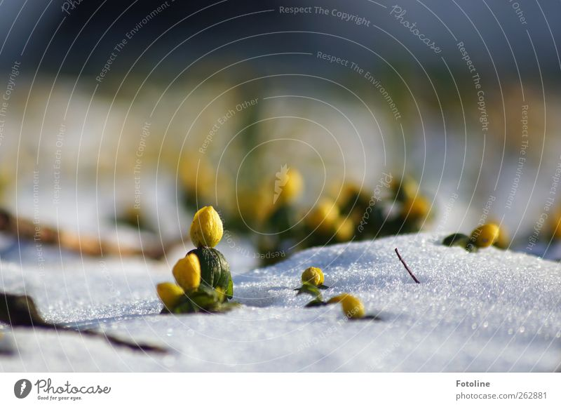 Nature White Green Plant Winter Flower Yellow Environment Landscape Cold Garden Blossom Bright Park Ice Natural