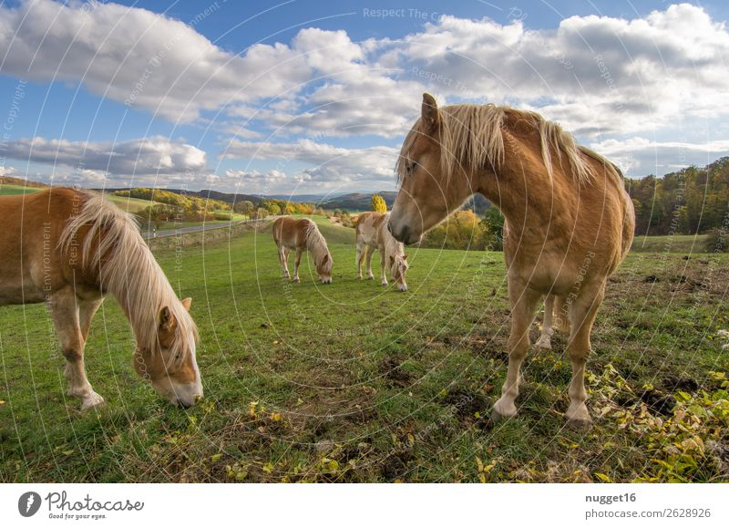 Horses on a paddock Environment Nature Landscape Plant Animal Sunlight Spring Summer Autumn Beautiful weather Grass Bushes Meadow Field Hill Pet Farm animal 4