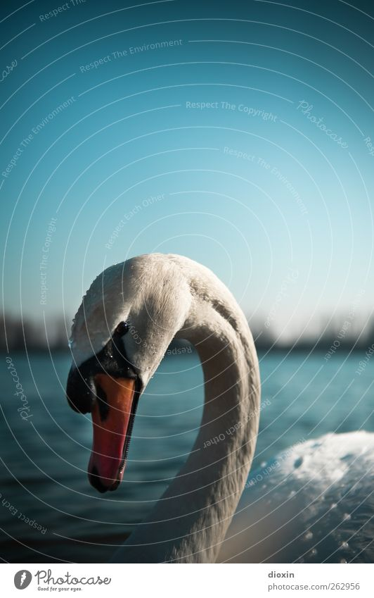 gracefulness Environment Nature Water Sky Cloudless sky Beautiful weather Lakeside River bank Pond Animal Wild animal Bird Swan Mute swan 1 Looking Esthetic