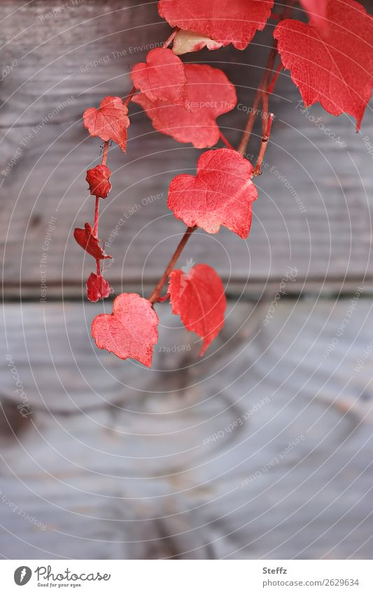 all the red hearts Heart Red Vine leaf Romance romantic heart-shaped Autumn vine leaves Infatuation Sense of Autumn Plant flaked Autumn leaves natural Idyll