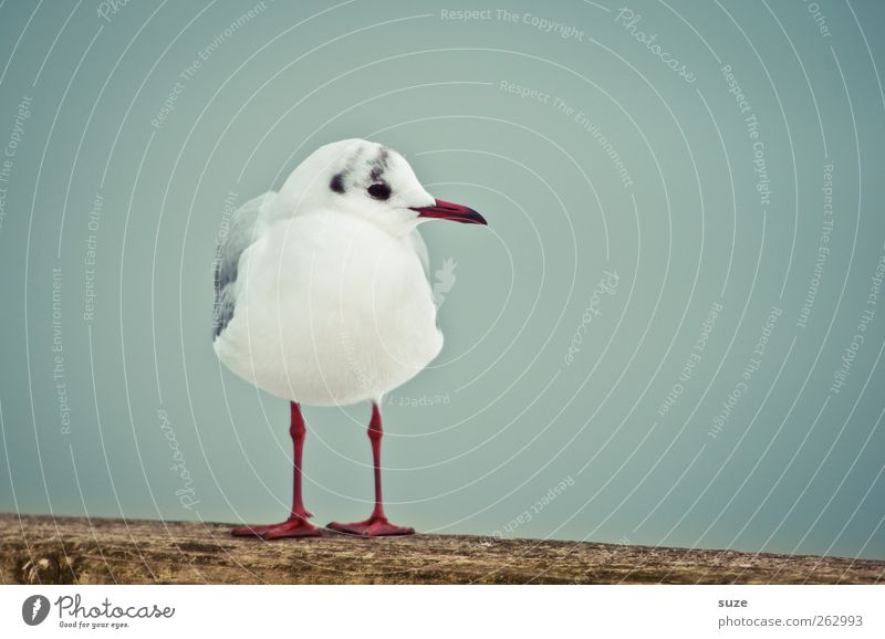 A serenade for Dexter Environment Nature Animal Sky Wild animal Bird Seagull Gull birds 1 Wood Stand Wait Cold Small Cute Blue White Feather Calm