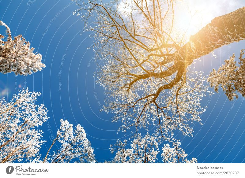 Treetops in the winter forest Vacation & Travel Trip Winter Snow Winter vacation Nature Landscape Cloudless sky Sun Sunlight Climate Beautiful weather Ice Frost
