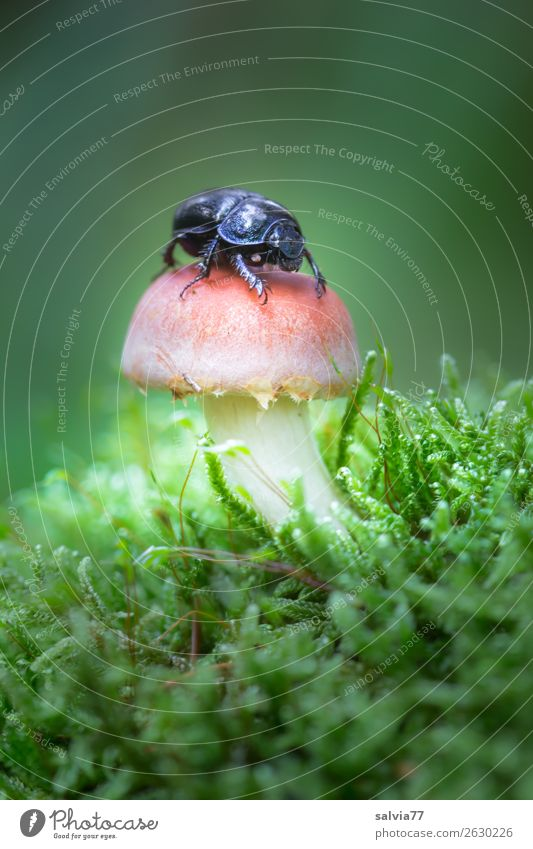 a wood manure beetle Environment Nature Plant Animal Earth Autumn Moss Mushroom Forest Beetle Insect dung beetle 1 Small Natural Above Soft Green Useful Funny
