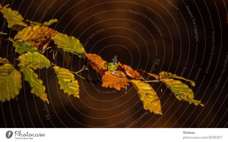 Autumn IV Brown Beech tree Forest Leaf Environment Nature Twig Branch Gold
