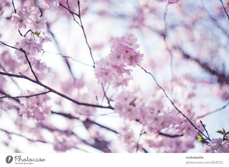 spring is spring. Nature Plant Tree Blossom Beautiful Pink Spring Cherry tree Cherry blossom Colour photo Morning Day Shallow depth of field