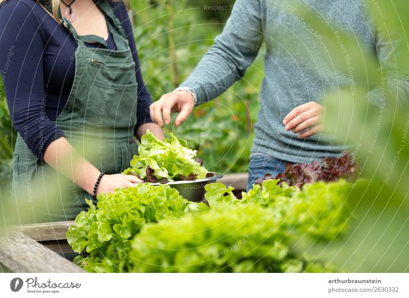 Man and woman harvesting salad from the raised bed in the garden Food Vegetable Lettuce Salad Nutrition Organic produce Vegetarian diet Healthy Eating Life