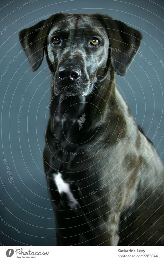 A dog's life Animal Pet Dog Animal face Pelt Labrador Labrador Ridgeback 1 Esthetic Blue Brown Black Elegant Curiosity Pure Surveillance Watchfulness Companion