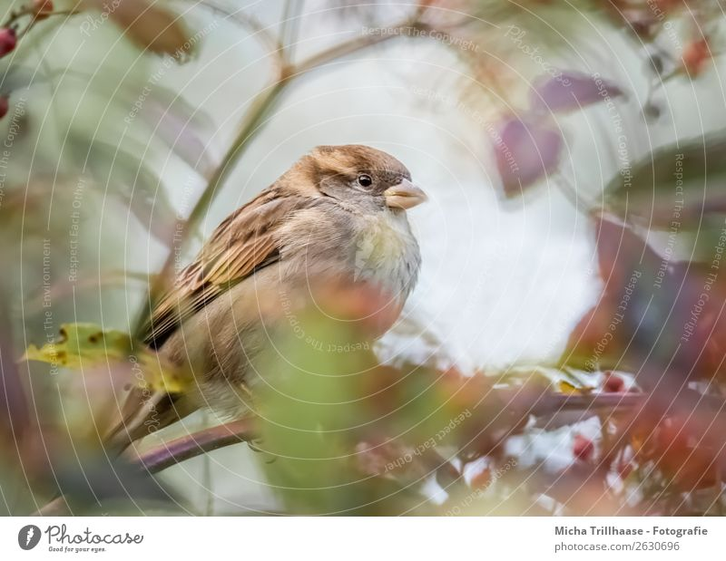 Sparrow behind autumn leaves Environment Nature Animal Sunlight Beautiful weather Tree Leaf Autumn leaves Wild animal Bird Animal face Wing Claw Passerine bird