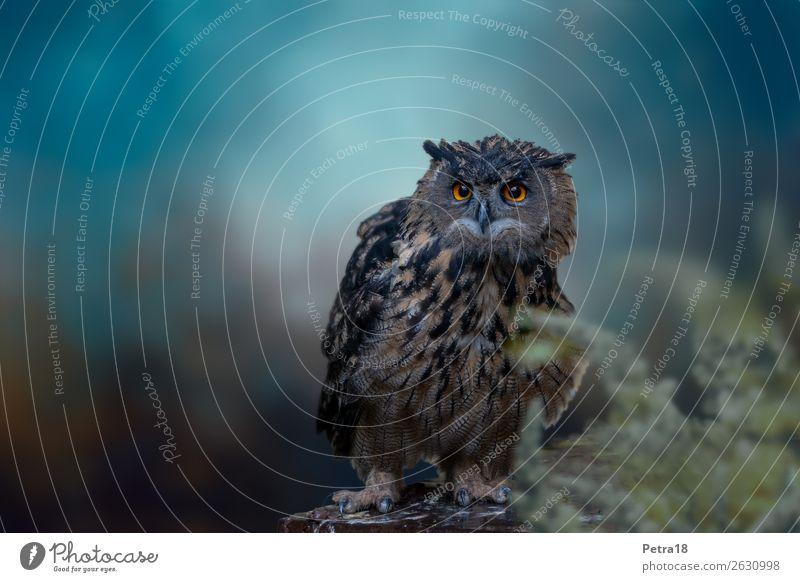 eagle owl Animal Wild animal Bird Zoo Eagle owl Owl birds 1 Observe Blue Brown Environmental protection Know Bird of prey Hunter Subdued colour Exterior shot