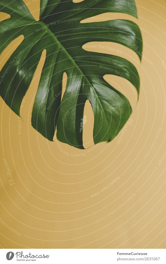 Nature Plant Green Yellow Rachis Foliage plant Part of the plant Monstera