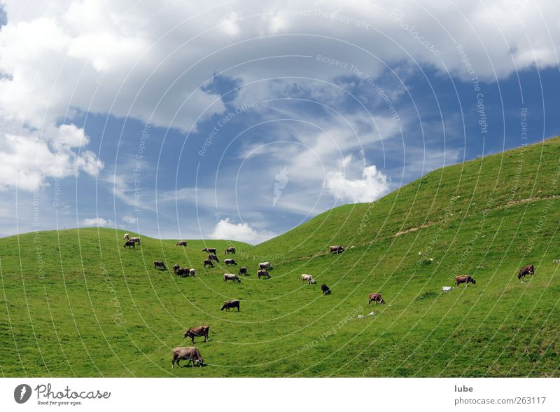 herd of cows Mountain Environment Nature Landscape Summer Grass Hill Animal Farm animal Cow Herd Alpine pasture Colour photo Exterior shot Copy Space top