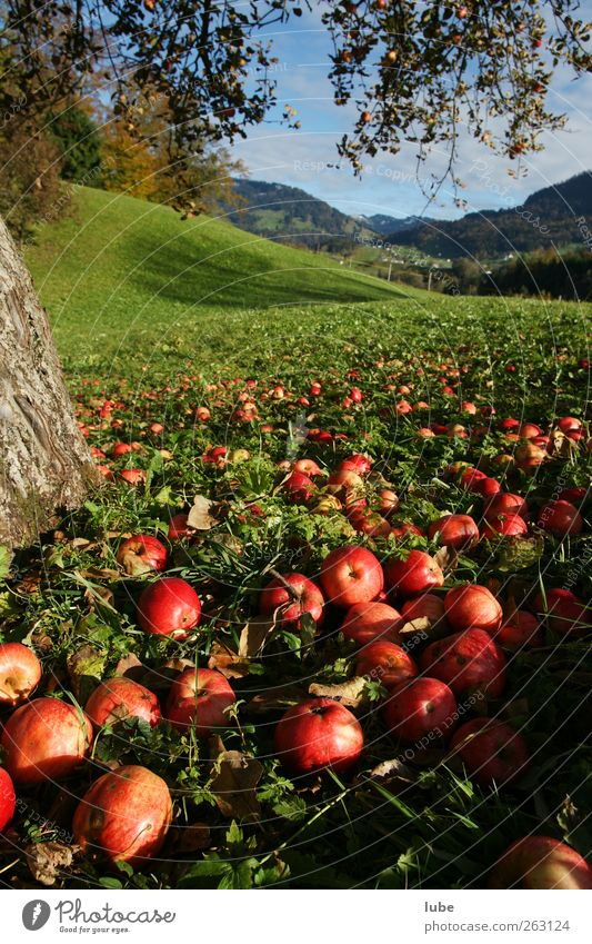 To the apple harvest Food Fruit Apple Vegetarian diet Thanksgiving Environment Nature Landscape Autumn Park Meadow Field Red Apple tree Fruit trees Windfall