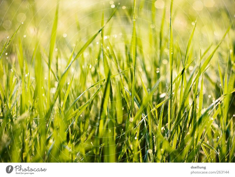 green grass in the morning with drops Nature Plant Drops of water Spring Beautiful weather Grass Meadow Thin Friendliness Fresh Glittering Good Small