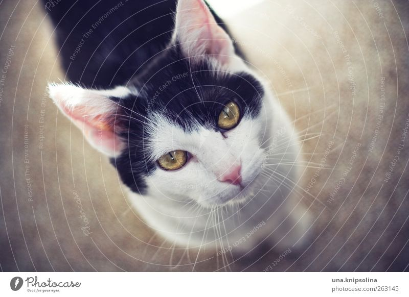 quota hangover Animal Pet Cat Animal face 1 Observe Friendliness Beautiful Cute Above Soft Pink Black White Whisker Colour photo Subdued colour Interior shot