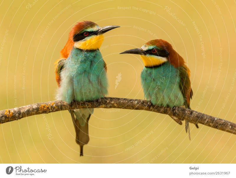 Couple of bee-eaters Exotic Beautiful Freedom Environment Nature Animal Park Bird Bee Love Small Wild Blue Yellow Green Red Colour Attachment wildlife colorful