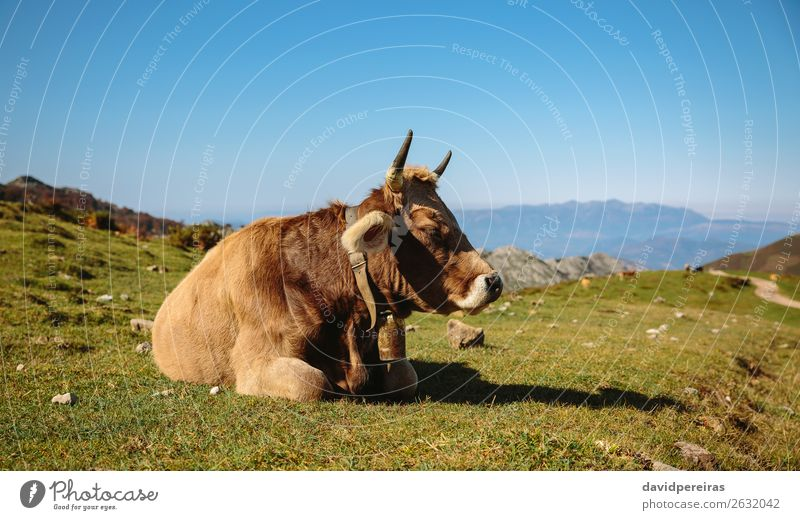 Cow resting lying on the grass Beautiful Sunbathing Mountain Nature Landscape Animal Autumn Grass Meadow Stone To feed Sleep Authentic Brown Green Loneliness