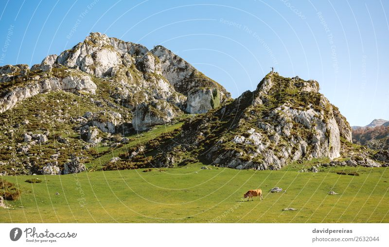 Mountaineer on a rock and cow on the grass Human being Nature Man Green Landscape Animal Adults Autumn Meadow Grass Copy Space Stone Brown Rock Free