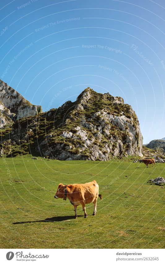 Cow walking through the grass Beautiful Sunbathing Mountain Nature Landscape Animal Autumn Grass Meadow Rock Stone To feed Authentic Brown Green field