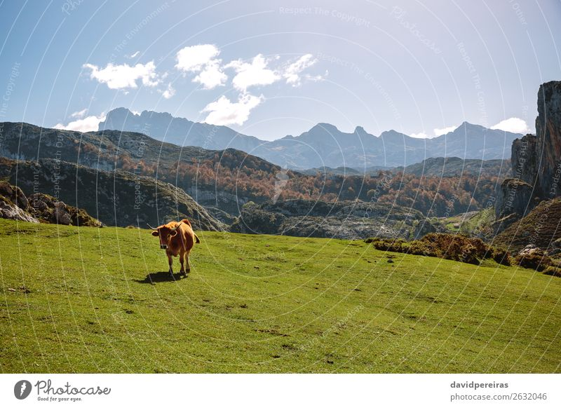 Cow on the grass in the mountains Beautiful Sunbathing Mountain Nature Landscape Plant Animal Clouds Autumn Tree Grass Meadow Rock Stone To feed Authentic