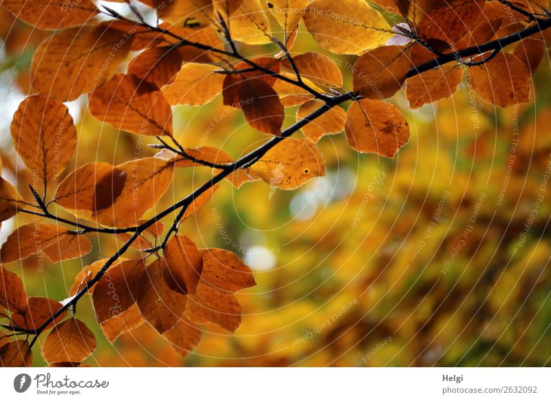 Branches of a beech, autumn colouring with yellow and brown leaves Environment Nature Plant Autumn tree flaked Twig Autumn leaves Autumnal colours Park