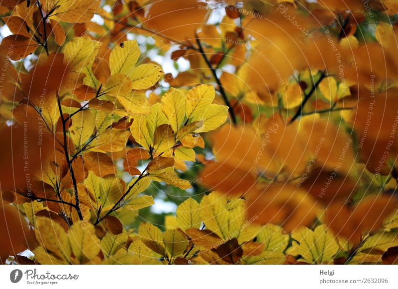 Branches of beech with leaves in yellow and brown autumn colouring Environment Nature Plant Autumn tree flaked Wild plant Twig Rachis Autumnal colours Park