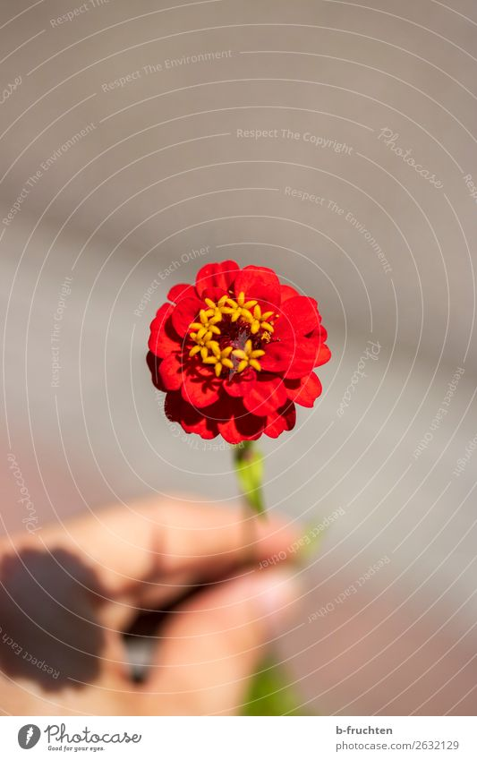 A red flower Hand Fingers Summer Flower Blossom Blossoming Relaxation To hold on Looking Simple Elegant Friendliness Fresh Healthy Red Esthetic Joy Peace