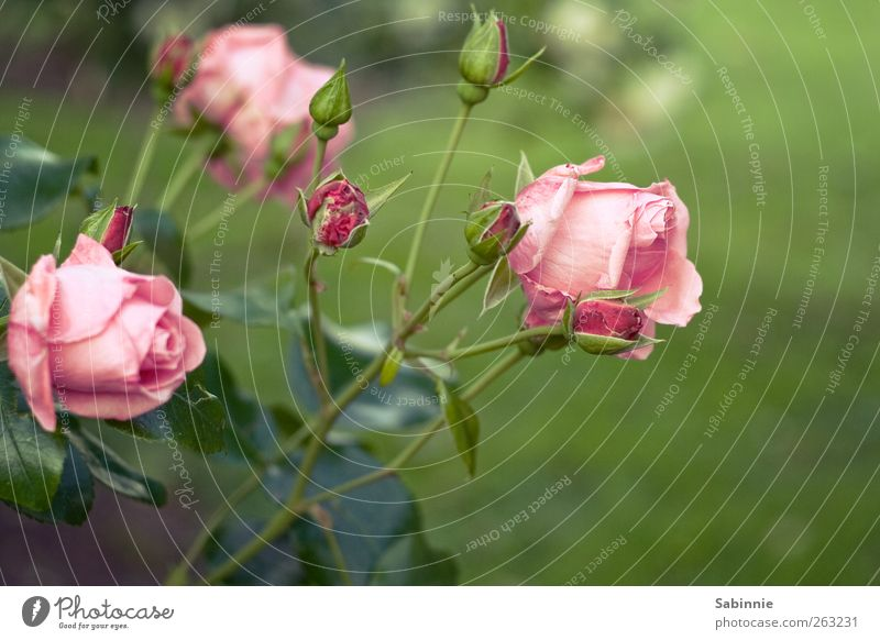 rose garden Environment Nature Plant Spring Rose Leaf Blossom Wild plant Green Pink Emotions Flower Bud Colour photo Multicoloured Close-up Detail Deserted