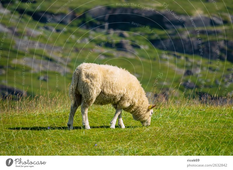 Vacation & Travel Nature Green Landscape Relaxation Animal Mountain Environment Meadow Grass Tourism Rock Idyll Agriculture Tradition Mammal