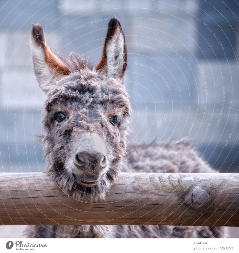 Blue Animal Gray Laughter Baby animal Curiosity Pelt Animal face Friendliness Pet Farm animal