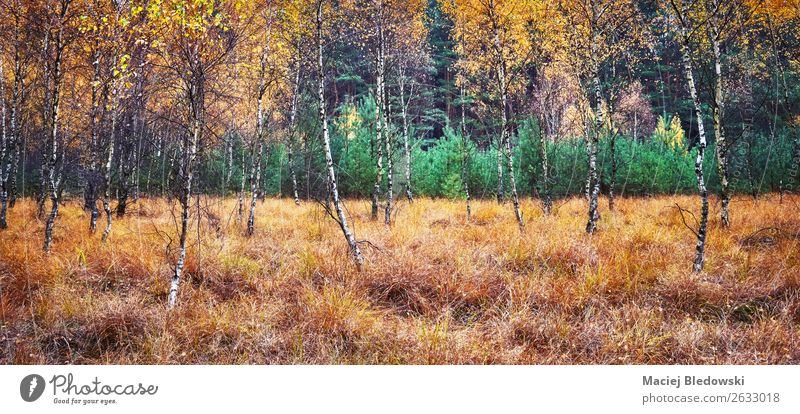 Autumnal forest panoramic view. Environment Nature Landscape Plant Climate Climate change Weather Fog Rain Tree Bushes Moss Foliage plant Forest Natural Yellow