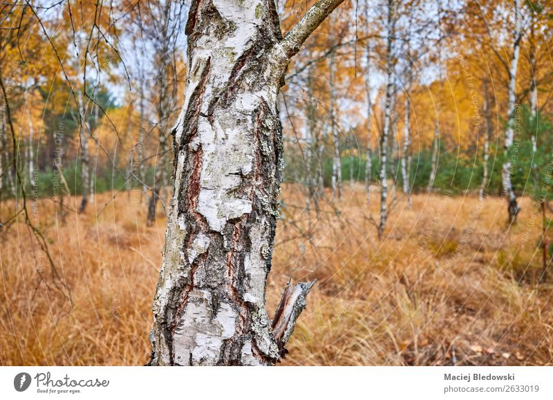 Birch tree trunk in an autumnal forest. Environment Nature Landscape Plant Autumn Weather Tree Forest Natural Yellow Serene Calm Sadness Loneliness birch bark