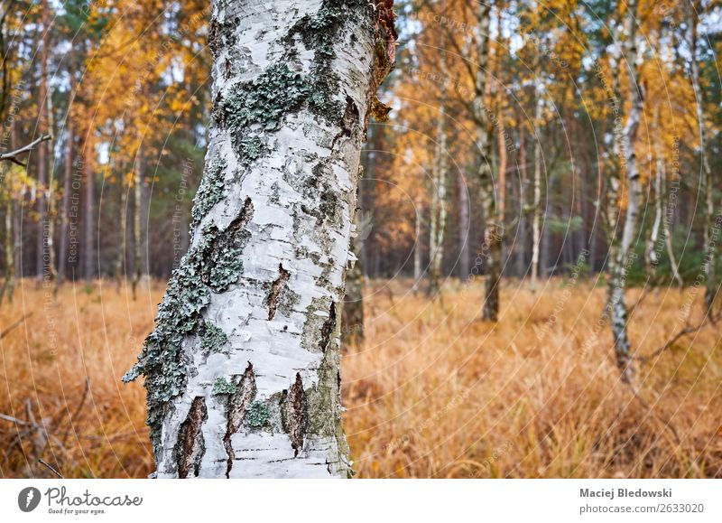 Birch tree trunk in an autumnal forest. Environment Nature Plant Autumn Tree Forest Natural Yellow Adventure Serene Inspiration Sustainability birch bark