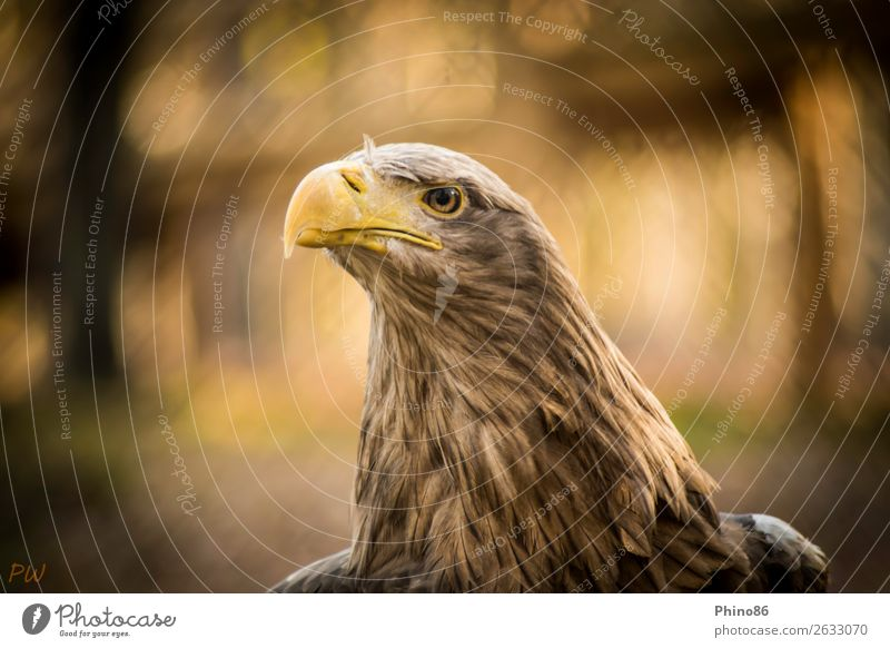 white-tailed eagle Animal Wild animal Bird Animal face Zoo 1 Observe Listening Exceptional Authentic Elegant Power Beautiful Watchfulness Endurance Pride