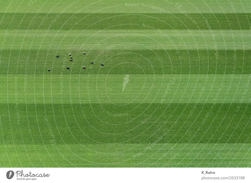 Pigeons on the sports field. Sports Soccer Foot ball Football pitch Nature Plant Animal Grass Wild animal Bird Group of animals Movement Fitness Flying To feed