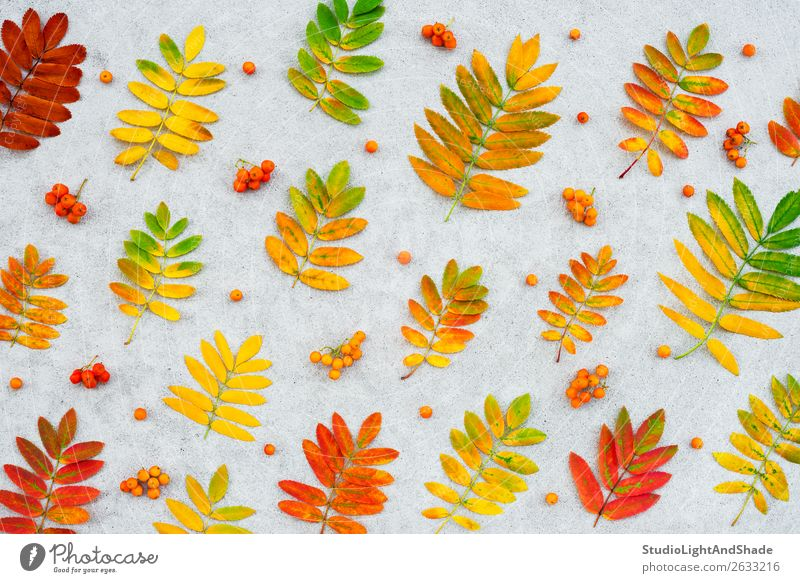 Colorful ashberry tree leaves and fruits Fruit Beautiful Garden Art Nature Plant Autumn Tree Leaf Forest Concrete Bright Natural Yellow Gold Gray Red Colour