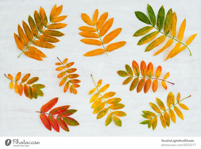 Colorful ashberry tree leaves on painted wooden background Beautiful Garden Art Nature Plant Autumn Tree Leaf Forest Wood Bright Natural Yellow Gold Red White