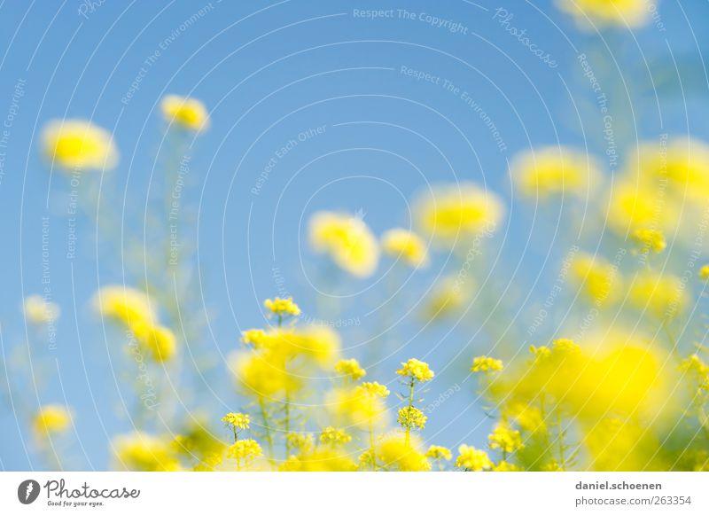 Sky Nature Blue Beautiful Plant Summer Yellow Bright Field Beautiful weather Cloudless sky Canola Canola field