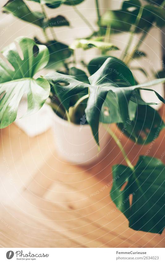 Monstera in white flower pot standing on floor boards Living or residing Flat (apartment) Interior design Decoration Floorboards Parquet floor Homey