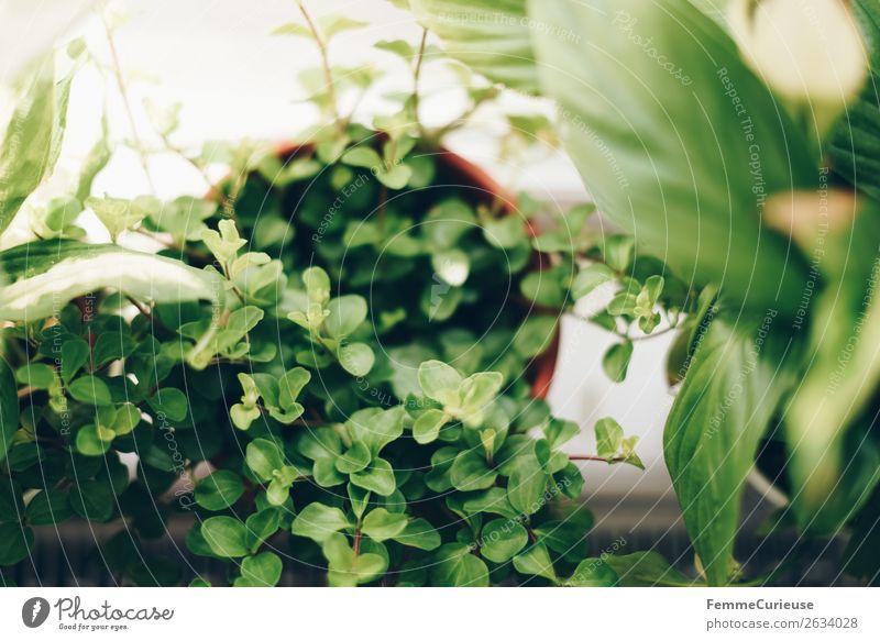 Green plants in the windowsill Nature Living or residing Plant Foliage plant Window board Decoration Pot plant Bright Sun Colour photo Interior shot Blur