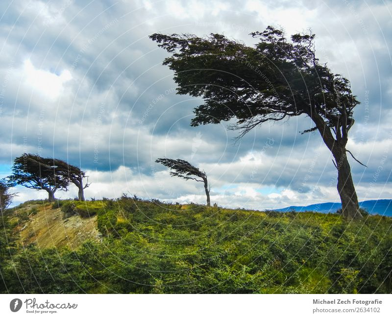 The wind shaped trees in ushuaia in tierra del fuego Vacation & Travel Adventure Summer Island Nature Landscape Plant Sky Clouds Wind Tree Grass Park Forest