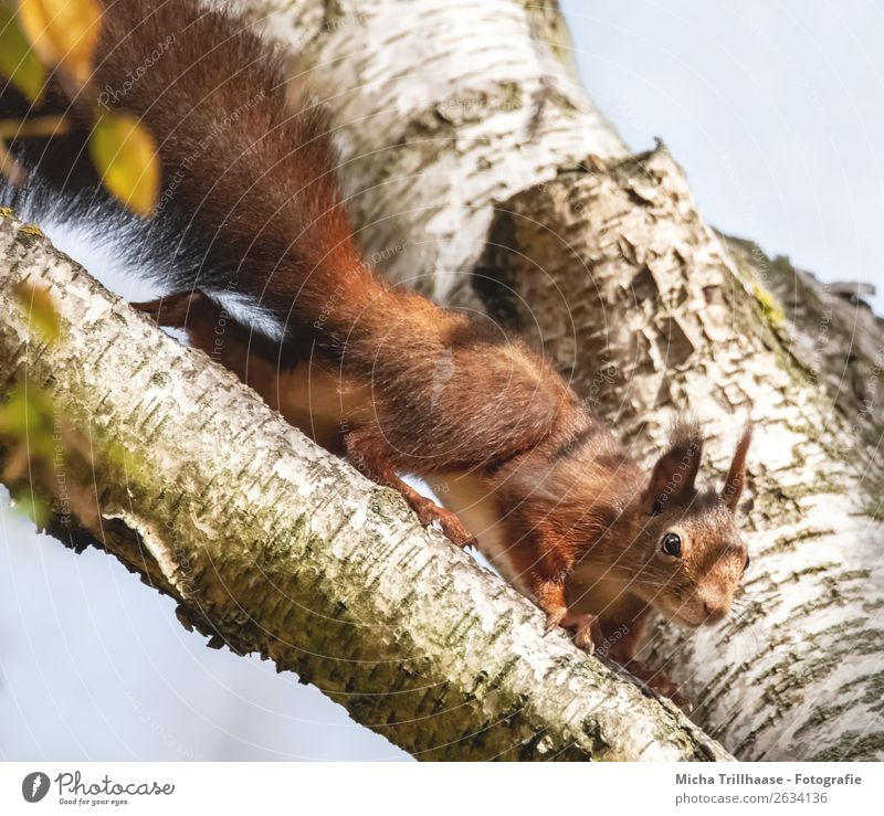 Curious squirrel in a tree Environment Nature Animal Sky Sun Sunlight Beautiful weather Tree Wild animal Animal face Pelt Claw Paw Squirrel Eyes Ear Tails 1
