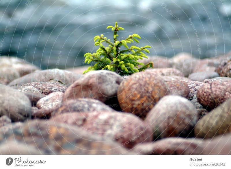 little tree Tree Green Small Norway Stone Water River Nature Landscape Fir needle